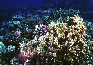 Corail île de La Réunion