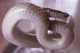 Lycodon aulicus couleuvre Loup serpent La Réunion