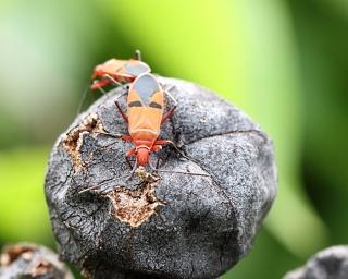 Dysdercus sp. Punaise.