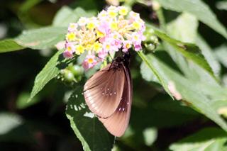 Euploea goudotii. Papillon endémique de La Réunion.