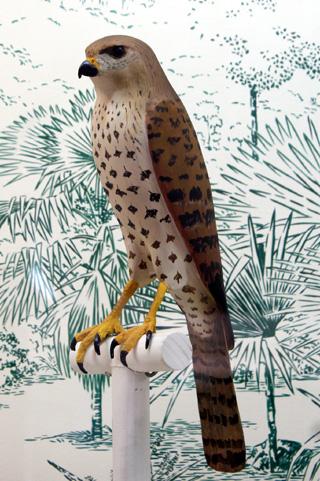 Faucon de Dubois. Falco duboisi