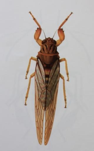 Fractuosella breoni. Cigale endémique de La Réunion.