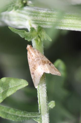 Hellula undalis (Fabricius, 1781).