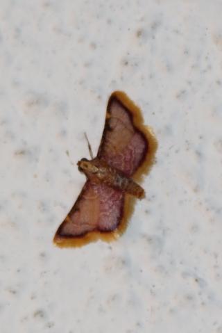 Hypsopygia mauritialis (Boisduval, 1833).
