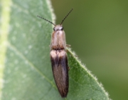 Aphanopenthes acutipennis (Germar, 1844)