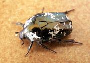 Protaetia aurichalcea (Fabricius, 1775)