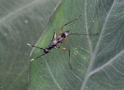 Paramimegralla nigra (Barraclough, 1992)