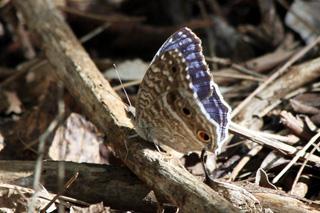 Junonia rhadama. Papillon Bleu.