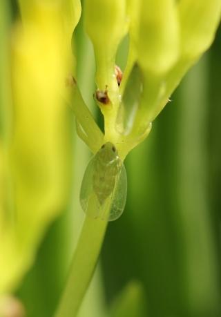 Kallitaxila murcia. insecte de La Réunion.