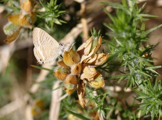 Lampides boeticus. Azuré porte-queue.