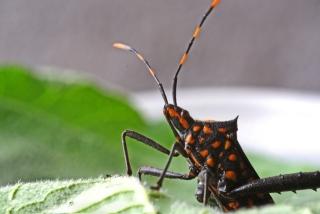 Leptoglossus gonagra. Punaise insecte de La Réunion.