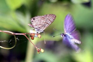 Papillon : Leptotes pirithous.