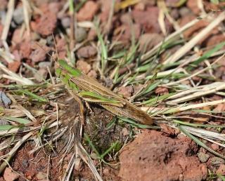 Locusta migratoria (Linnaeus, 1758).