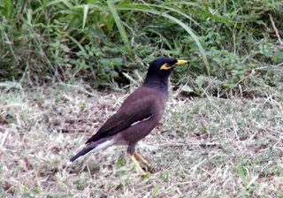 Martin triste oiseau de La Réunion