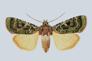 Mentaxya palmistarum (Joannis, 1932).