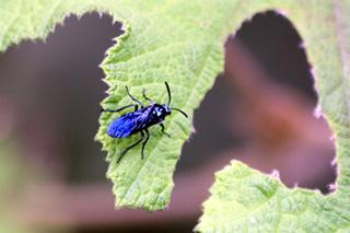 Mouche bleue Cibdela janthina.