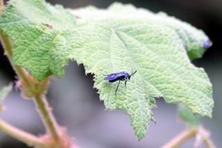 Cibdela janthina Mouche bleue.