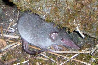 Musaraigne ou Rat musqué - Suncus murinus