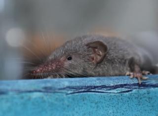 Musaraigne ou Rat musqué.