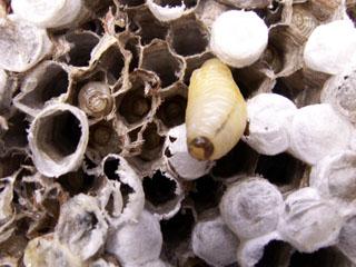 Polistes olivaceus nid.