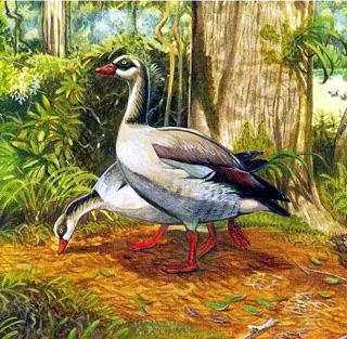 Alopochen kervazoi oiseau endémique de La Réunion