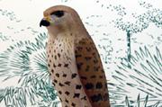 Falco duboisi Cowles, 1994
