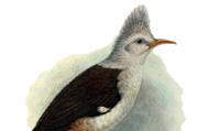 Fregilupus varius (Boddaert, 1783)