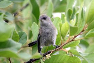 Zosterops borbonicus. Oiseau blanc ou oiseau-lunettes gris.
