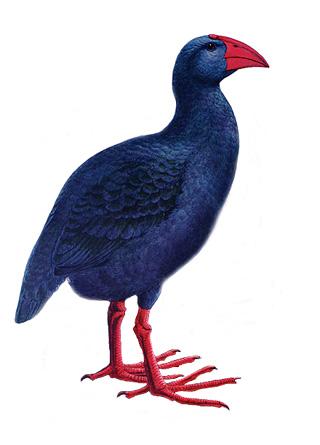 Porphyrio coerulescens. oiseau endémique de La Réunion