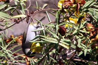 Oiseau Vert ou zoizeau vert à lunette  Zosterops olivaceus.