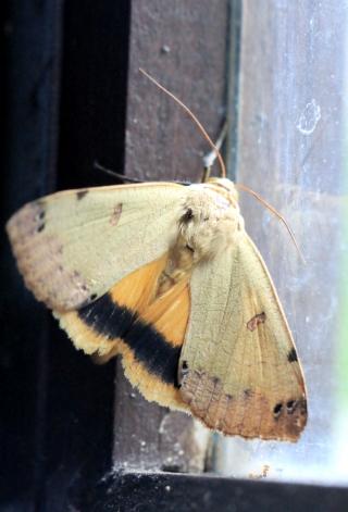 Ophiusa legendrei (Viette, 1967). Papillon de La Réunion.