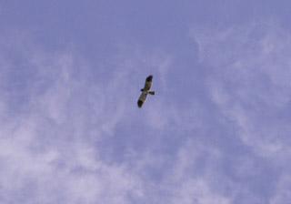 Papangue rapace endémique de La Réunion.