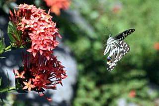 Papillon de Vinson ou Voilier des citronniers.