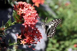 Papillon de La Réunion. Papilio demodocus.