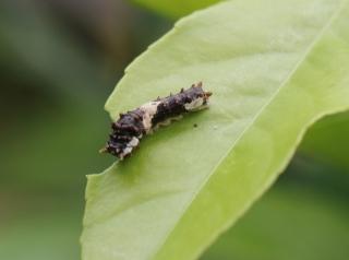 Chenille juvénile, Papilio demodocus.