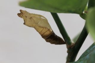 chrysalide Papilio demodocus.