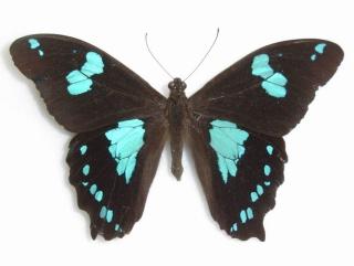 Papilio phorbanta Linné, 1771. Mâle.