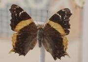 Antanartia borbonica borbonica (Hübner, 1821)