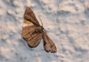 Phazaca theclata (Guenée, 1857)
