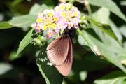 Euploea goudotii (Boisduval, 1833)