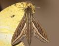 Hippotion celerio (Linnaeus, 1758)