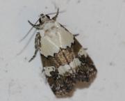 Lithacodia blandula (Guenée, 1862)