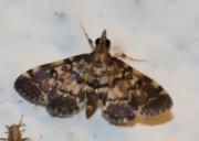 Piletocera viperalis (Guenée, 1862)