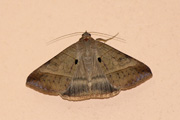 Remigia conveniens (Walker, 1858)