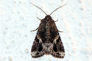 Spodoptera mauritia mauritia (Boisduval, 1833)