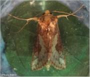 Thysanoplusia orichalcea (Fabricius, 1775)