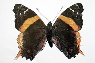 Antanartia borbonica Papillon endémique de La Réunion