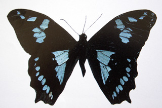 papillon_Papillo_phorbanta