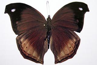 Salamis augustina Papillon endémique de La Réunion
