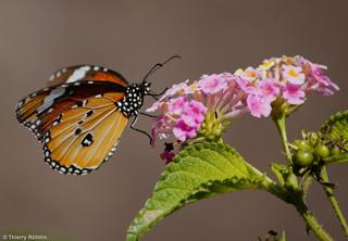 Petit monarque. Danaus chrysippus.